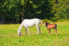 Horse and foal on grass in summer Stock Image