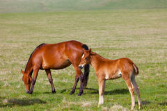 Horse with a foal Stock Photos