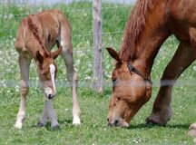 Horse and foal grazing Stock Photo