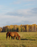 Horse and foal are grazing on an autumn meadow Royalty Free Stock Photo