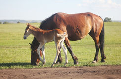 Horse. And foal grazing in field Stock Images