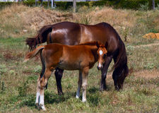 Horse and foal grazing. In a meadow Royalty Free Stock Images