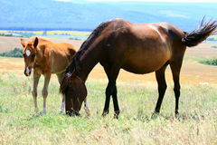 Horse and foal. Grazing in a meadow Royalty Free Stock Photo