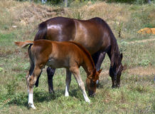 Horse and foal. Grazing in a meadow Stock Images