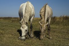Horse and foal grazing (parallel) Stock Image