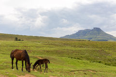 Horse and foal grazing Stock Photos