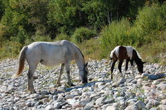 Horse and foal grazing among the stones. Royalty Free Stock Image