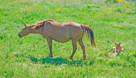 Horse and foal Royalty Free Stock Images