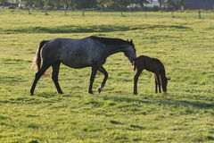 Horse and foal in green field Stock Images