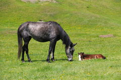 Horse with a foal. On green grass in the mountains Stock Photos