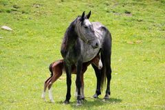 Horse with a foal. On green grass in the mountains Stock Photo