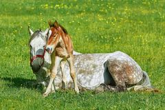 Horse with Foal royalty free stock images