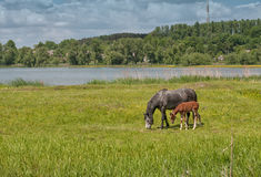 Horse and foal on green pasture near lake forest. Black horse and brown foal on green pasture meadow with green grass near lake bank and forest Stock Photos