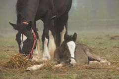 Horse and foal lie in the field royalty free stock photo