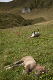 Horse foal lying down and mule scratching. Royalty Free Stock Photography