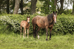 Horse and Foal. A horse (Mare) and its foal in a field Stock Photography