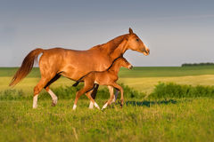 Horse with foal. Mare run with colt in beautiful field at sunrise Royalty Free Stock Photos