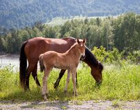 Horse with a foal on a meadow Royalty Free Stock Images