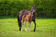 Horse and the foal on the meadow. Horse and the foal on Irish meadow Royalty Free Stock Photos