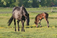 Horse and foal in meadow Royalty Free Stock Photography