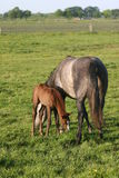 Horse and foal in meadow Stock Photography