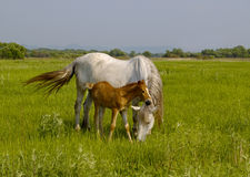 Horse with a foal on a meadow Royalty Free Stock Image