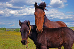 Horse with a foal on the meadow Royalty Free Stock Photography