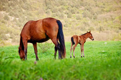 Horse and foal grazing in a meadow Royalty Free Stock Photo