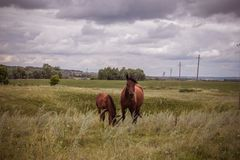 Horse with a foal in a meadow stock photos