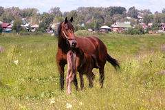 Horse with a foal Stock Images