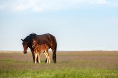 Horse with a foal in the meadow. Sunny evening stock photography