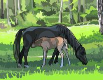 Horse with a foal on the meadow in the woods Stock Photography