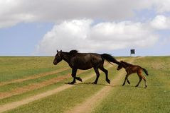 Horse and foal in Mongolia. Horse and foal grazing in the fields and pastures of central Mongolia stock image