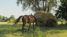 Horse foal, mother horse, cart loaded with hay stock video footage