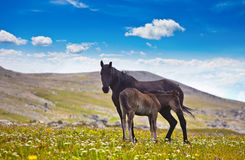 One horse with foal on mountain Royalty Free Stock Photography