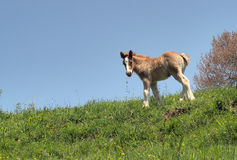 HORSE FOAL ON MOUNTAIN stock image