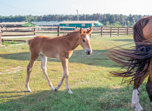 Horse foal near its mother on green grass at farm Royalty Free Stock Photography