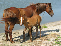 Horse with a foal near lake. Horse with a foal walk on sand near lake. Foal looks at the camera in front of the mare Stock Photos