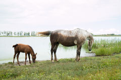 Horse and foal near the watering hole on the lake. Sorrel mother horse and foal in the pond Royalty Free Stock Photo