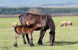 Horse foal neigh Stock Photos