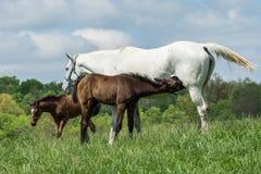 Horse foal nursing mother in Kentucky Stock Photo
