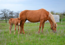 Horse with foal Stock Photos