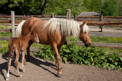 Horse with foal. Palomino mare with foal stock photography