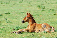 Horse foal on pasture Stock Images