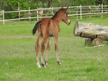 Horse, Foal, Pasture, Horse Like Mammal Stock Photo