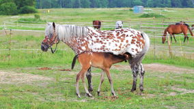 Horse with a foal on a pasture stock video