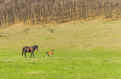 Horse and foal on a pasture Royalty Free Stock Images