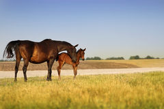 A horse with a foal Stock Photography