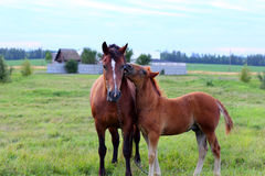 Horse with foal. Foal playing with mother-horse Royalty Free Stock Images