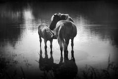 A horse with a foal in the pond. Royalty Free Stock Photography